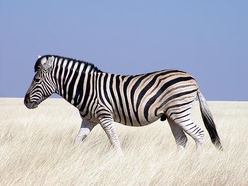 フリー画像  動物写真  哺乳類  馬/ウマ  シマウマ        フリー素材 