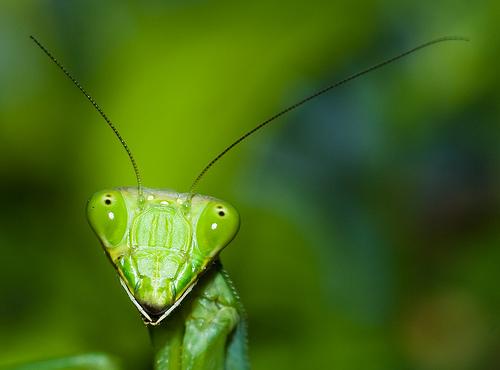 フリー画像| 節足動物| 昆虫| カマキリ| 緑色/グリーン|       フリー素材|