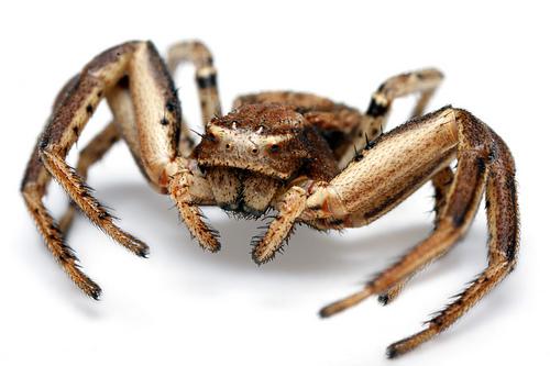 フリー画像| 節足動物| 蜘蛛/クモ| コカニグモ|        フリー素材|