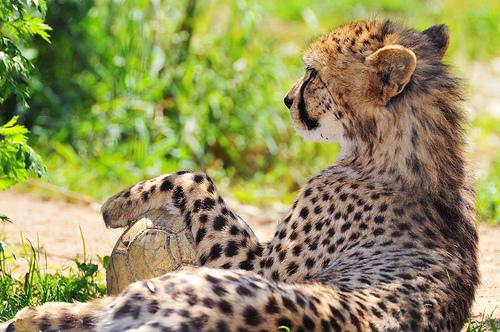 フリー画像| 動物写真| 哺乳類| ネコ科| チーター| サッカー|      フリー素材|