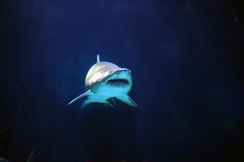 フリー画像| 動物写真| 魚類| 鮫/サメ|        フリー素材|