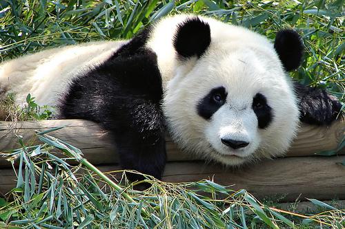 フリー画像| 動物写真| 哺乳類| ジャイアントパンダ|        フリー素材|