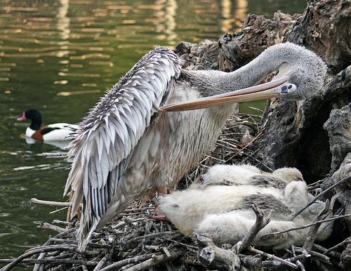 フリー画像| 動物写真| 鳥類| ペリカン| 親子/家族| 雛/ヒナ|      フリー素材|