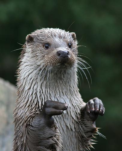 フリー画像| 動物写真| 哺乳類| 小動物| カワウソ|       フリー素材|