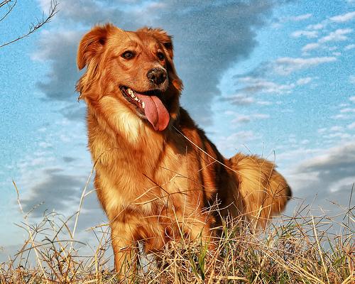 フリー画像| 動物写真| 哺乳類| イヌ科| 犬/イヌ| ゴールデン・レトリバー|      フリー素材|