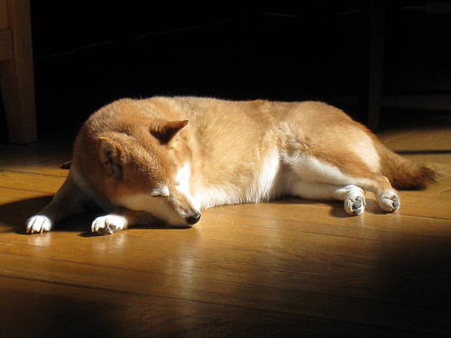 フリー画像| 動物写真| 哺乳類| イヌ科| 犬/イヌ| 柴犬/シバイヌ| 寝顔/寝相/寝姿|     フリー素材|