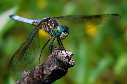 フリー画像| 節足動物| 昆虫| とんぼ/トンボ| オニヤンマ| 緑色/グリーン|      フリー素材|