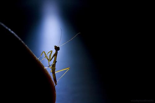 フリー画像| 節足動物| 昆虫| カマキリ|        フリー素材|