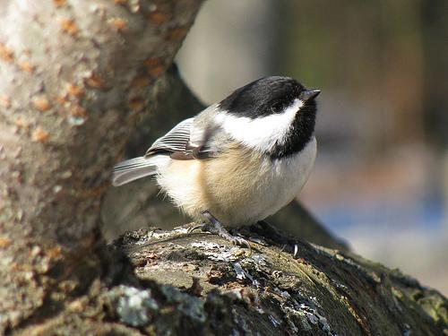 フリー画像| 動物写真| 鳥類| 野鳥| アメリカコガラ| 見上げる|      フリー素材|