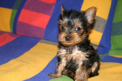 フリー画像  動物写真  哺乳類  イヌ科  犬/イヌ  子犬  ヨークシャー・テリア      フリー素材 