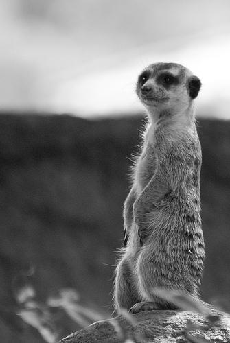 フリー画像| 動物写真| 哺乳類| 小動物| ミーアキャット| 立ち上がる| モノクロ写真|     フリー素材|