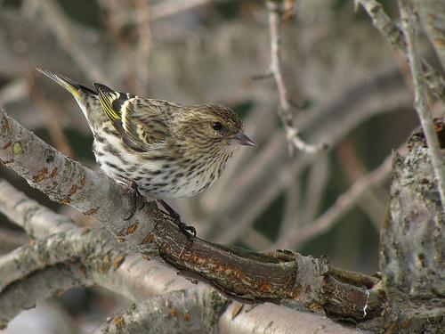 フリー画像| 動物写真| 鳥類| 野鳥| マツノキヒワ|       フリー素材|