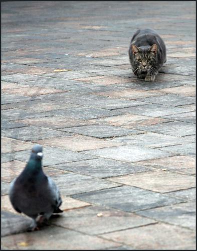 フリー画像| 動物写真| 哺乳類| ネコ科| 猫/ネコ| 鳥類| 鳩/ハト|     フリー素材|