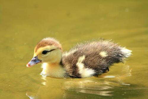 フリー画像| 動物写真| 鳥類| 鴨/カモ| 雛/ヒナ| 黄色/イエロー|      フリー素材|