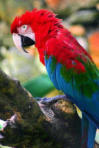 フリー画像| 動物写真| 鳥類| インコ科| ベニコンゴウ|       フリー素材|