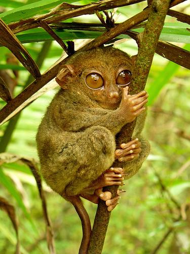 フリー画像|動物写真|哺乳類|猿/サル|小動物|フィリピンメガネザル|フリー素材|