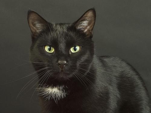 フリー画像| 動物写真| 哺乳類| ネコ科| 猫/ネコ| 黒猫| 黒色/ブラック|     フリー素材|