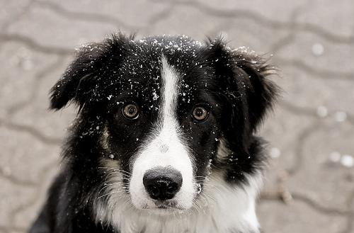 フリー画像| 動物写真| 哺乳類| イヌ科| 犬/イヌ| ボーダー・コリー|      フリー素材|
