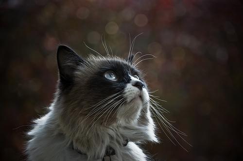 フリー画像| 動物写真| 哺乳類| ネコ科| 猫/ネコ| 見上げる|      フリー素材|
