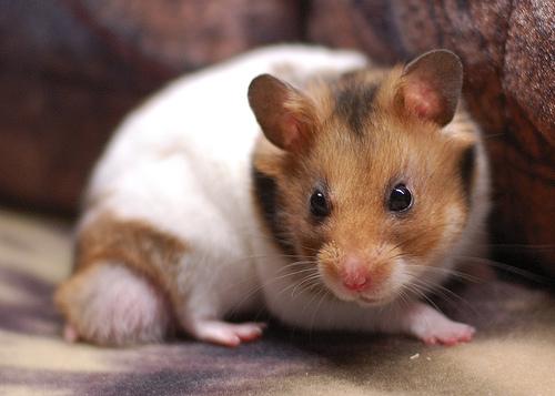 フリー画像| 動物写真| 哺乳類| ネズミ上科| 小動物| ハムスター|      フリー素材|
