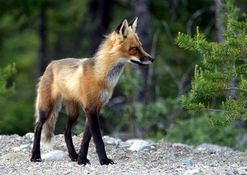 フリー画像| 動物写真| 哺乳類| イヌ科| 狐/キツネ|       フリー素材|