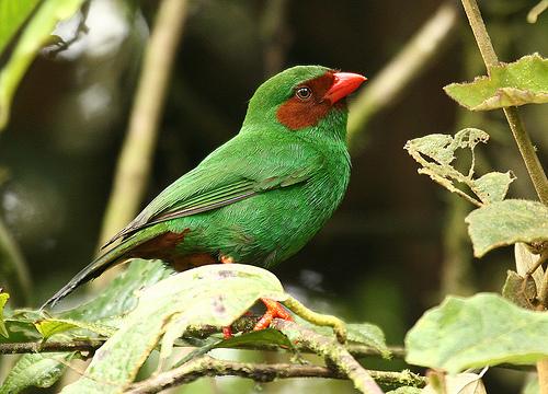 フリー画像| 動物写真| 鳥類| 野鳥| ワカクサフウキンチョウ|       フリー素材|